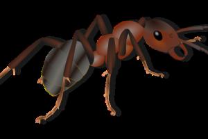 Fourmi, Insectes, Des Animaux, Fourmi Rouge
